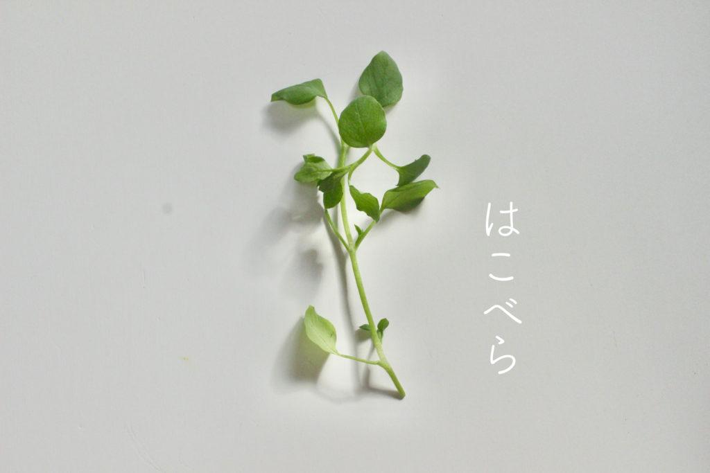 春の七草 はこべら