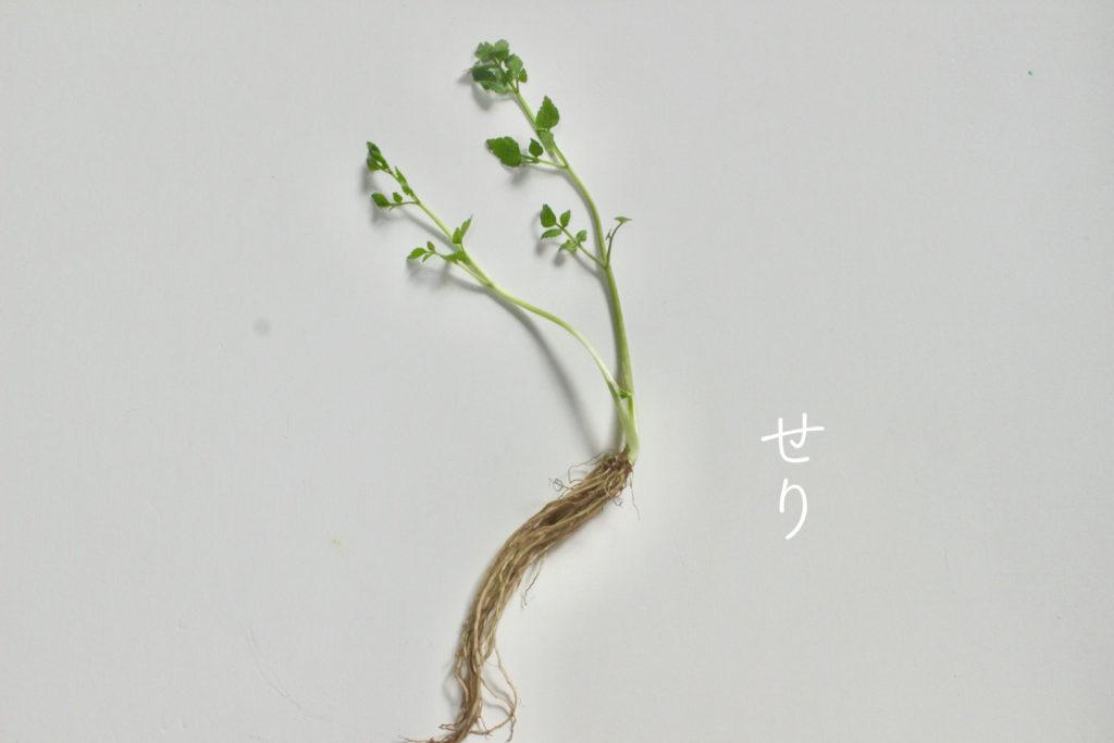 春の七草 せり